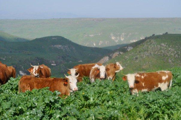 koeien basan